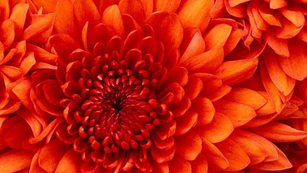 wpid-18565_Chrysanthemum.jpg