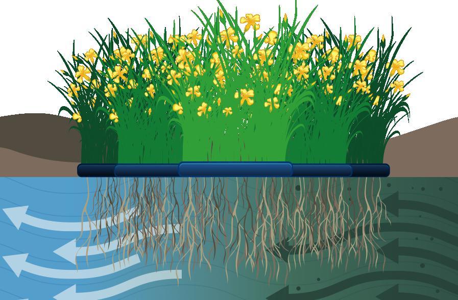 Figura 3. Fitodepurazione flottante