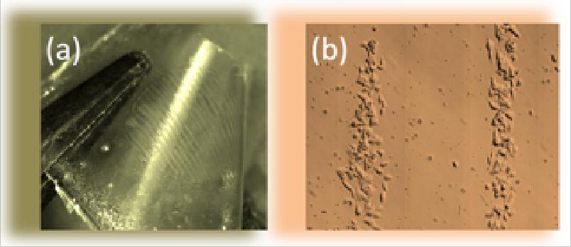 (a) immagine al microscopio di una pellicola elettrizzata con strisce cariche di segno opposto; (b) immagine al microscopio di cellule cancerose confinate sulle strisce cariche