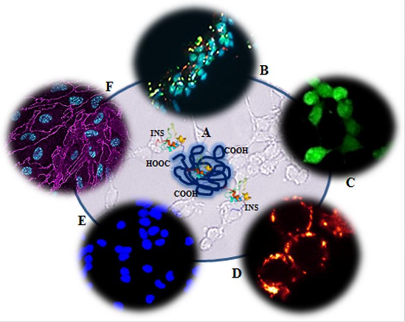 Il nanogel coniugato con l'insulina (A) si lega al recettore dell'insulina (B); è biocompatibile poiché non induce stress ossidativo (C), disfunzione mitocondriale (D) ed apoptosi (E); NG-In è capace di superare la barriera emato encefalica (F).