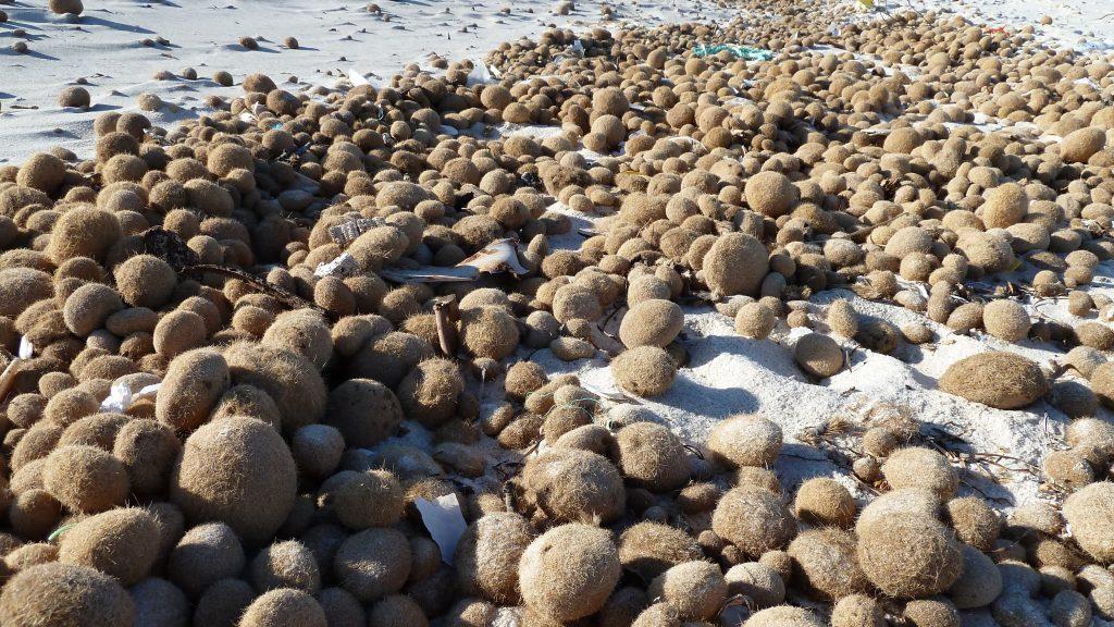 accumuli, sul litorale marino, di egagropoli in Posidonia oceanica (per gentile concessione di NeptuGmbH - NeptuTherm®)